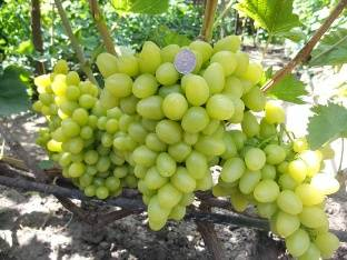 Долгожданный — сорт винограда, соответствующий своему названию