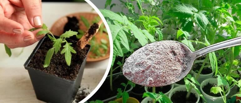Первая подкормка рассады томатов после пикировки