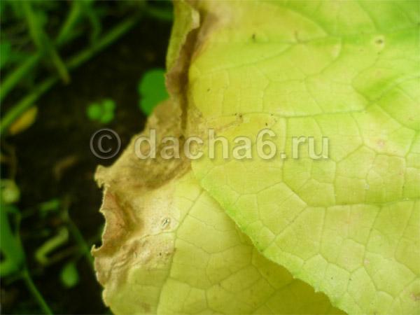 Что делать, если желтеют листья огурцов: эффективные народные средства