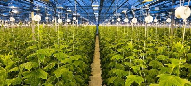 Выращивание огурцов в теплице из поликарбоната: пошаговая технология от а до я