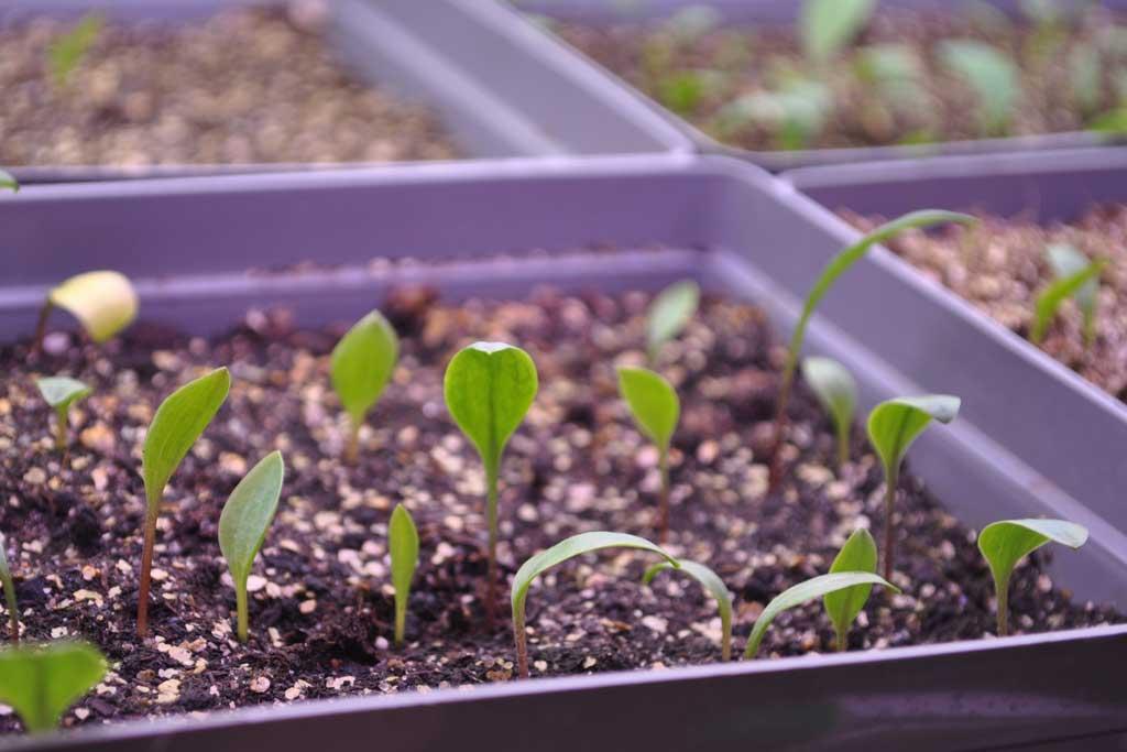 Пошаговая инструкция: размножение эухариса семенами. плюсы и минусы метода