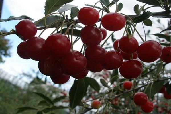 Обзор лучших сортов вишни: описание и особенности их выращивания