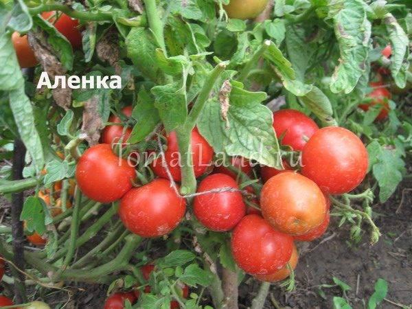 Сорт помидор, подходящий для всей россии — описание гибридного томата «красный купол»