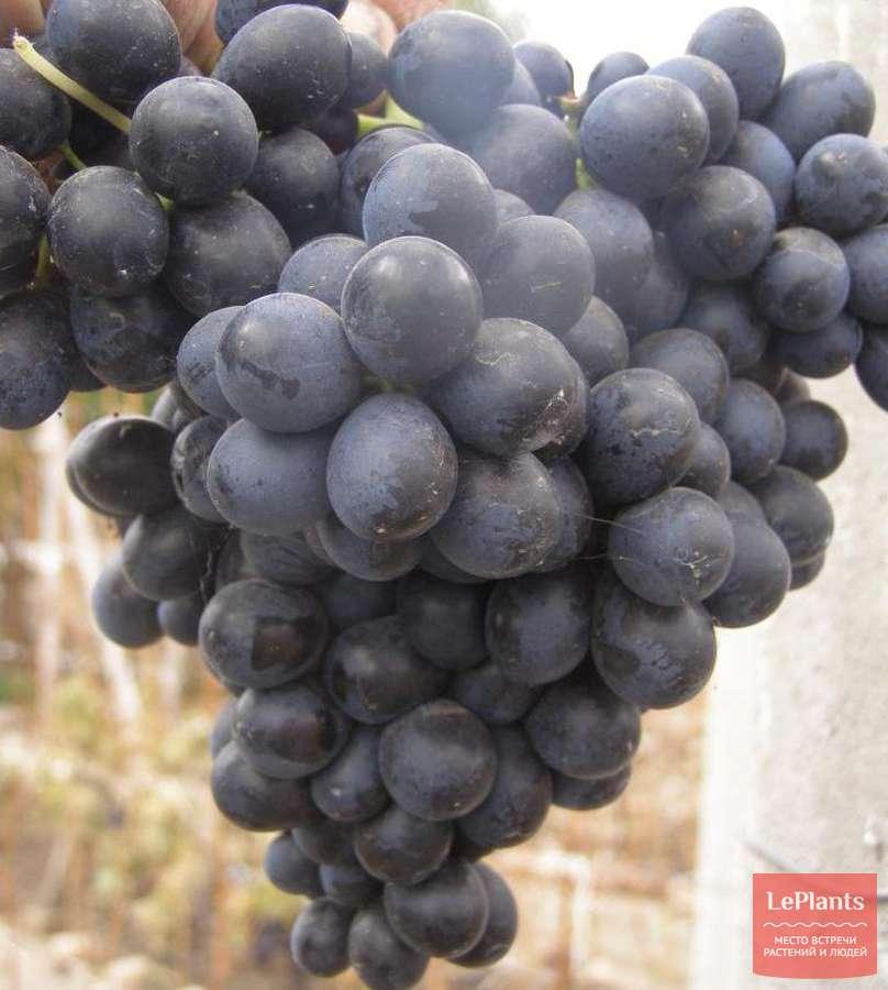 Виноград рубиновый юбилей описание сорта