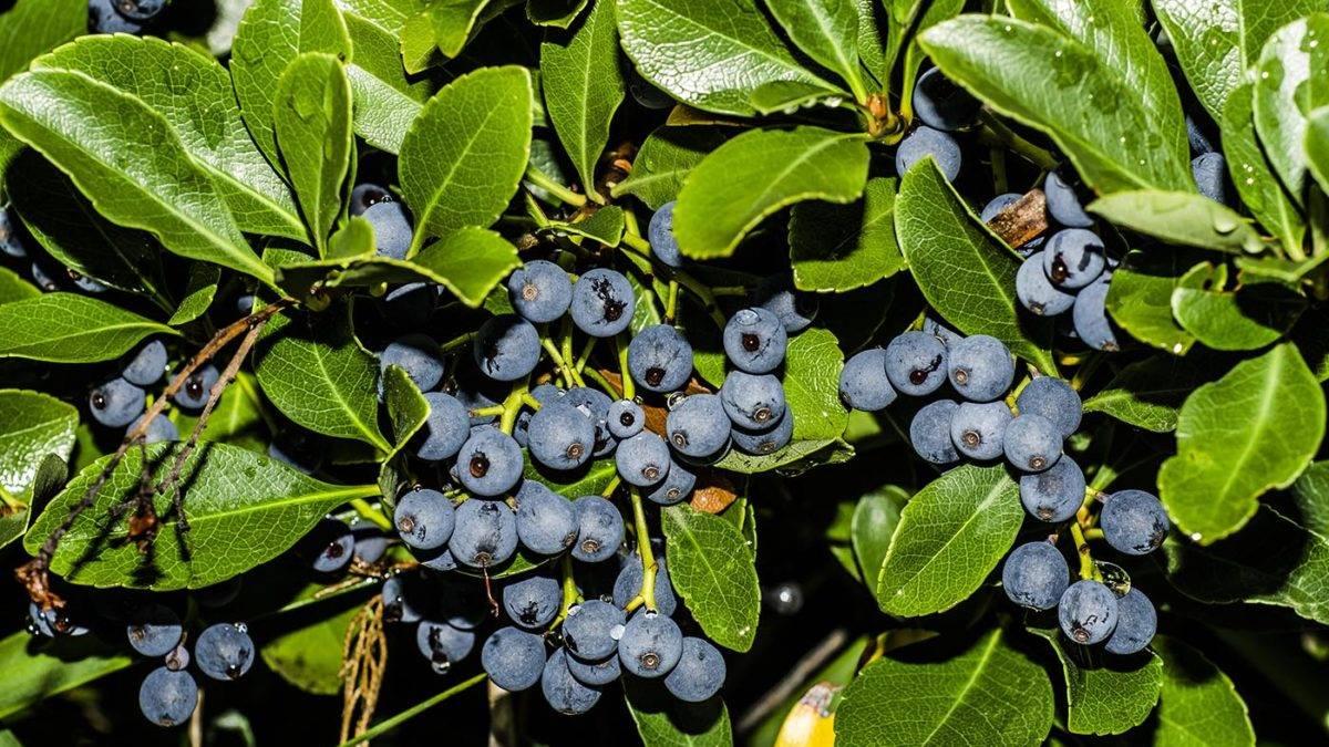Голубика в подмосковном саду – не таёжная дикарка
