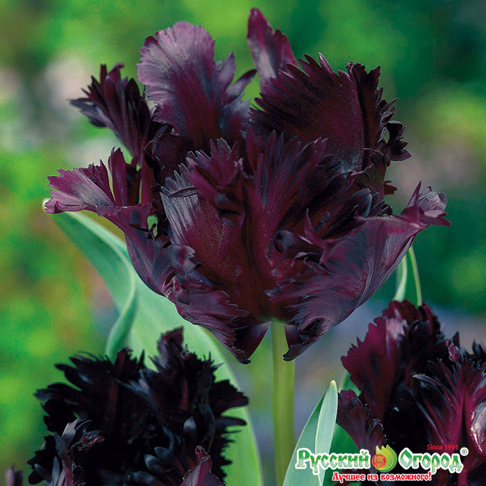 Описание и характеристика тюльпана сорта Блэк Пэррот, посадка и уход