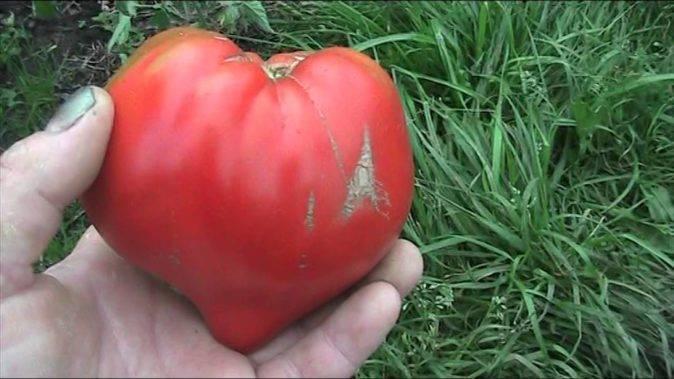 Какие отзывы собирает томат валентина. детальное описание преимуществ сорта