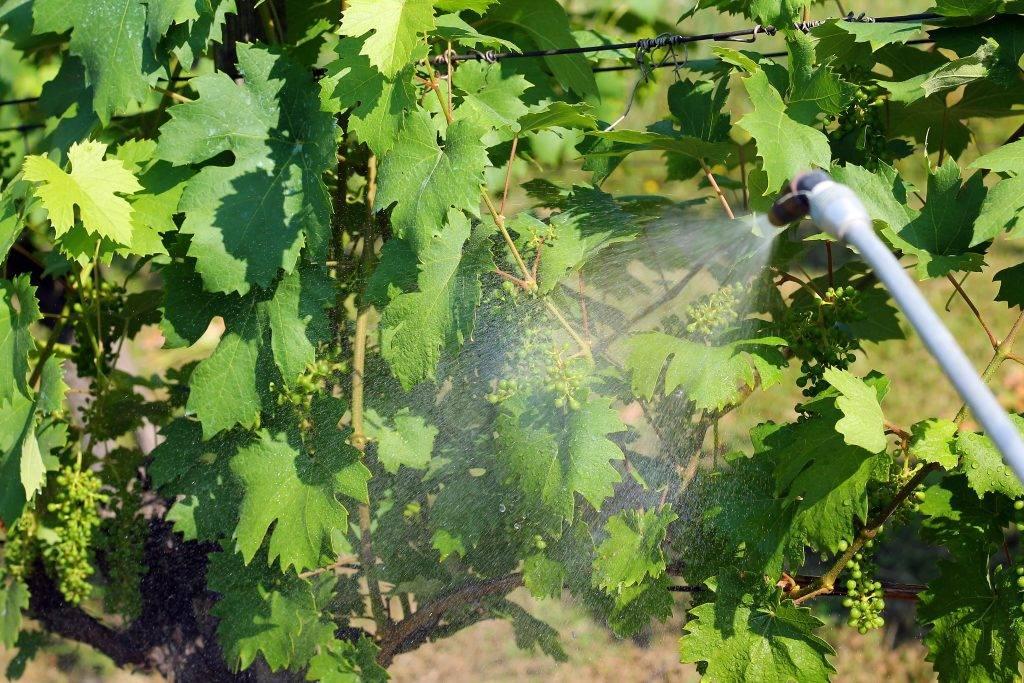 Способы обработки винограда содой, йодом и марганцовкой, польза и вред
