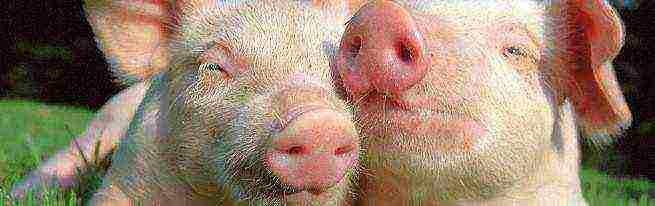 Запрет на разведение свиней в частном секторе
