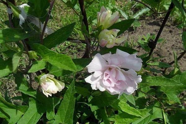 Кампсис: посадка и уход в открытом грунте, размножение и выращивание