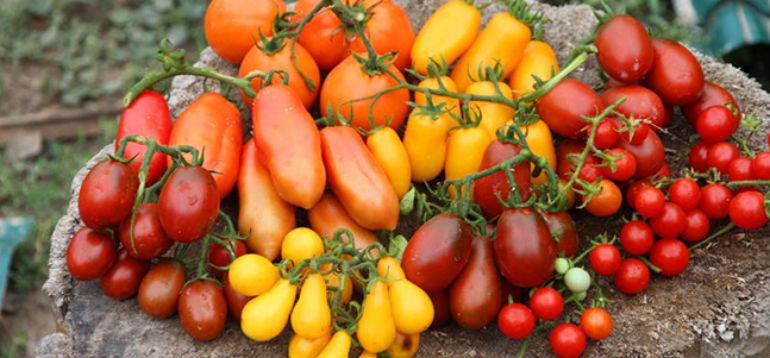 Сорта самых лучших и урожайных помидор для Урала в теплице