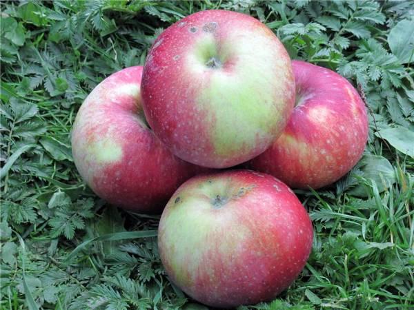 Описание яблони сорта ауксис, особенности посадки и ухода