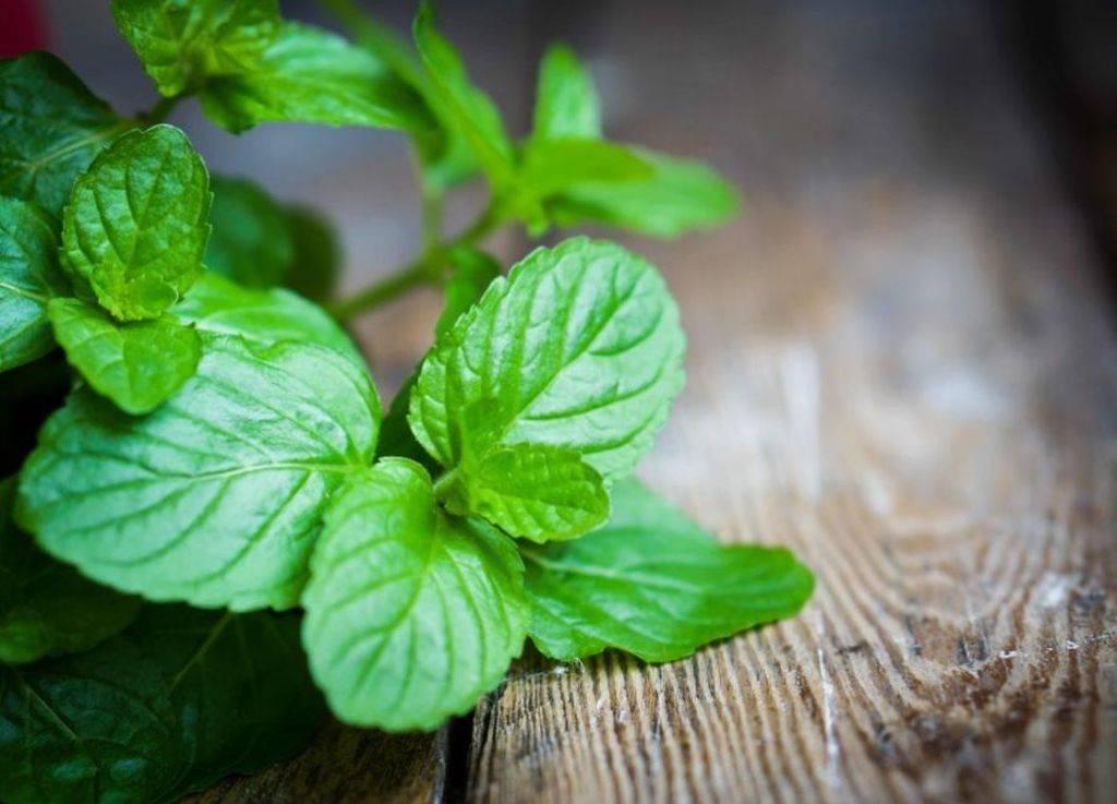 Мята: лечебные свойства и противопоказания, применение