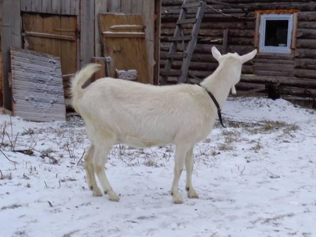 Почему коза после окота плохо ест и дает мало молока?