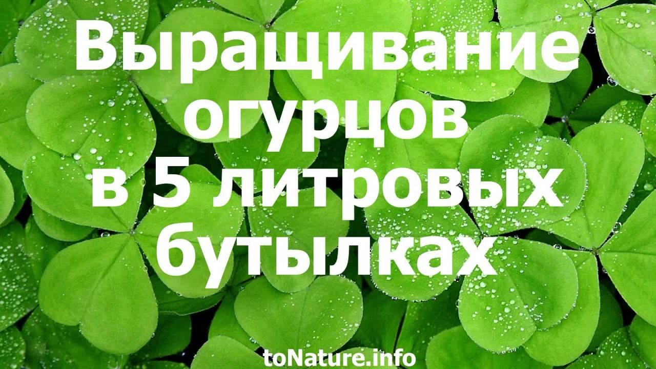 Огурцы на балконе: выращивание в пластиковых бутылках