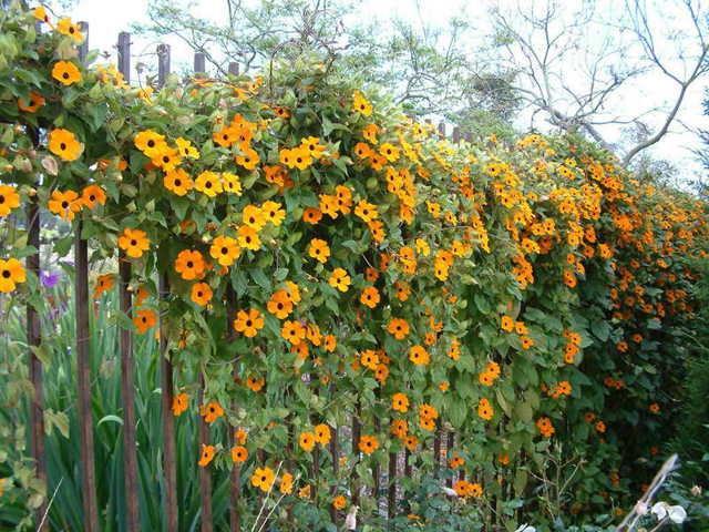 Теплолюбивая обильно цветущая тунбергия украсит ваш сад