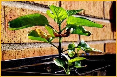 Что делать, если у перца и баклажанов желтеют листья