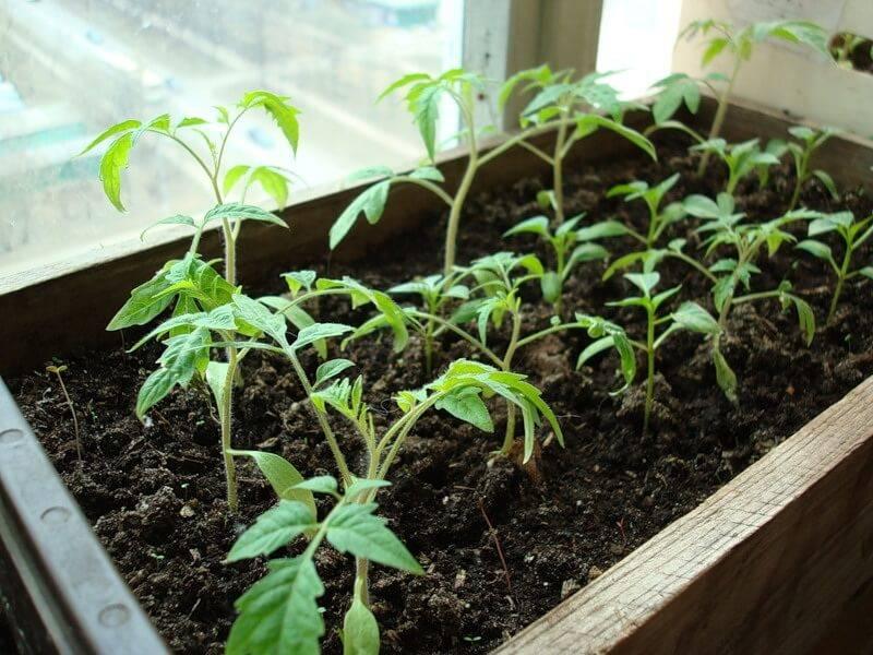 Почему не растет рассада помидоров после пикировки: что делать