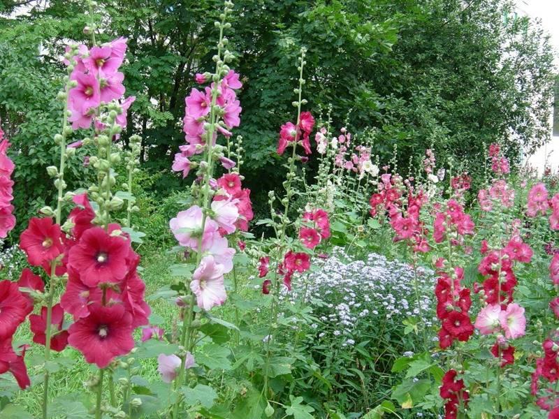 Мальва: описание выращивания из семян