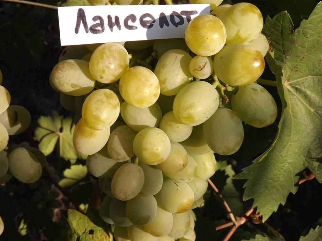 Описание и характеристики сорта винограда вэлиант, правила выращивания и хранения