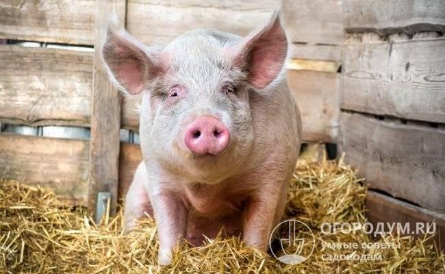 Рожа у свиней: симптомы и лечение без последствий для животных