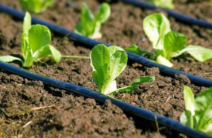 Можно ли в июле посадить капусту, достоинства и недостатки срока