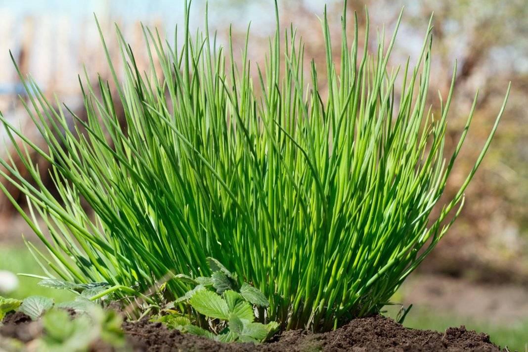 Описание сортов лука шнитт, особенности выращивания и ухода