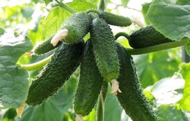 Описание сорта огурцов криспина, его характеристика и урожайность