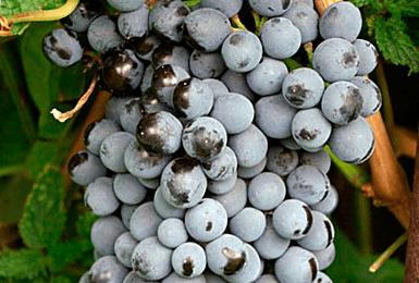 Описание и характеристики разновидностей винограда сорта шасла, правила посадки и ухода