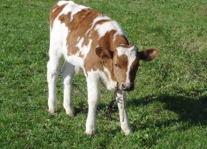 Что делать, если вздулась корова