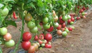 Характеристика и описание сорта томата Розовые щечки
