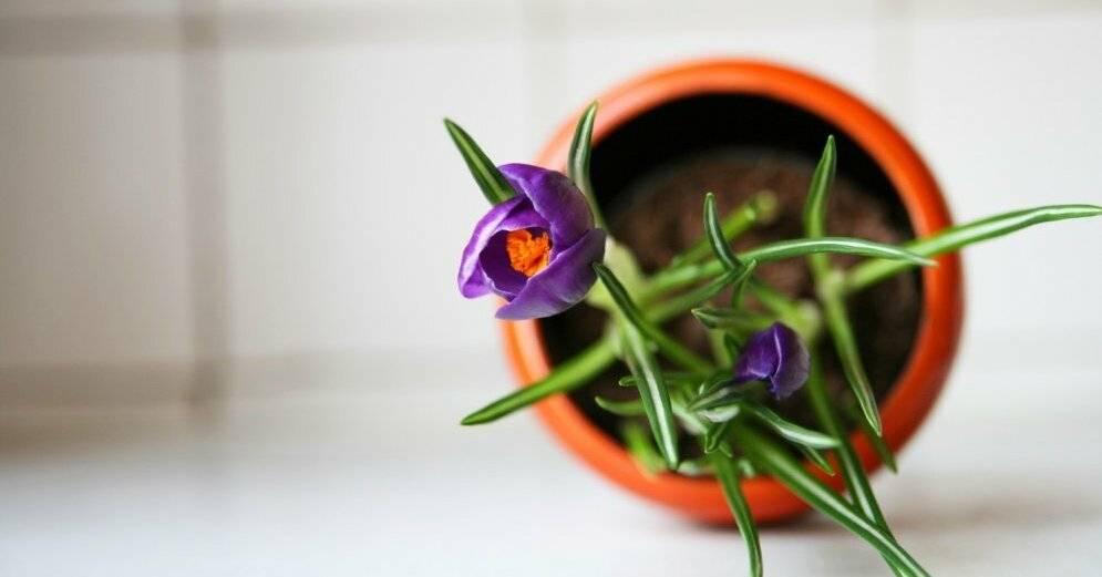 Крокусы: посадка и уход, выращивание в саду