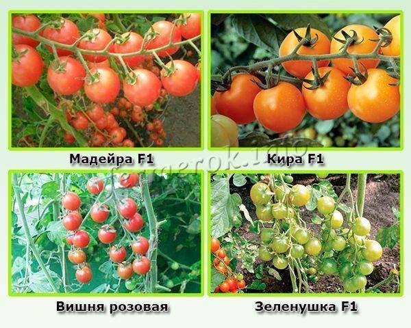 Черные томаты: сорта салатные, урожайные, крупноплодные, черри