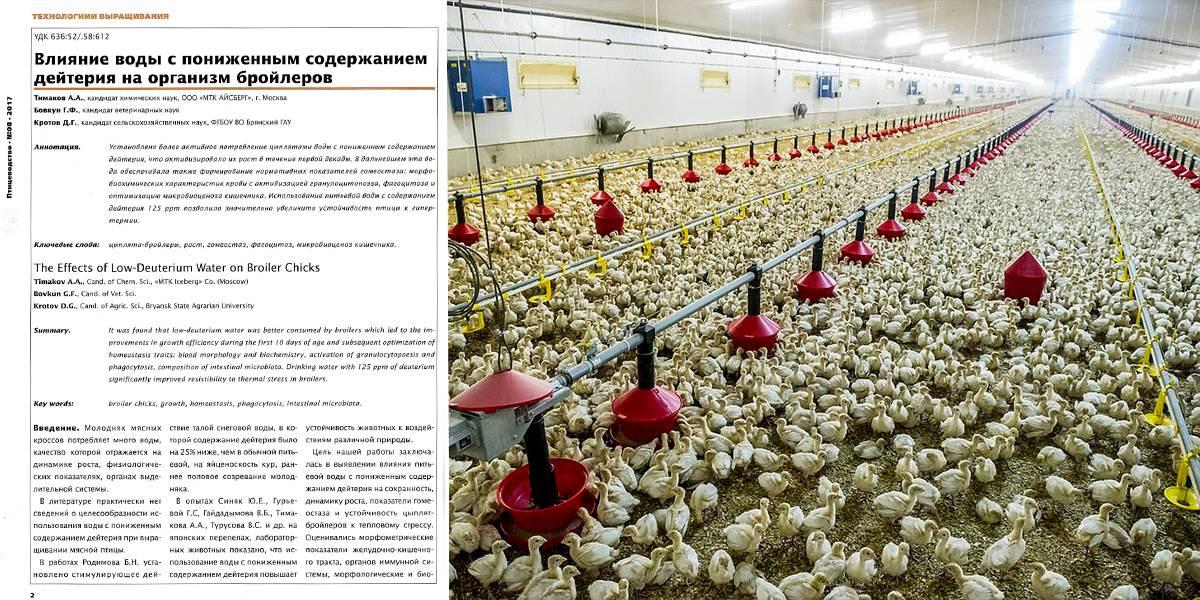 Температурный режим для цыплят бройлеров