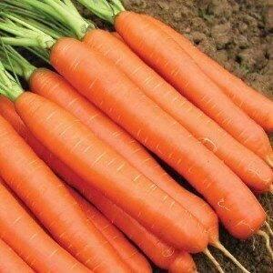 Нантская — знаменитая на всю россию морковь