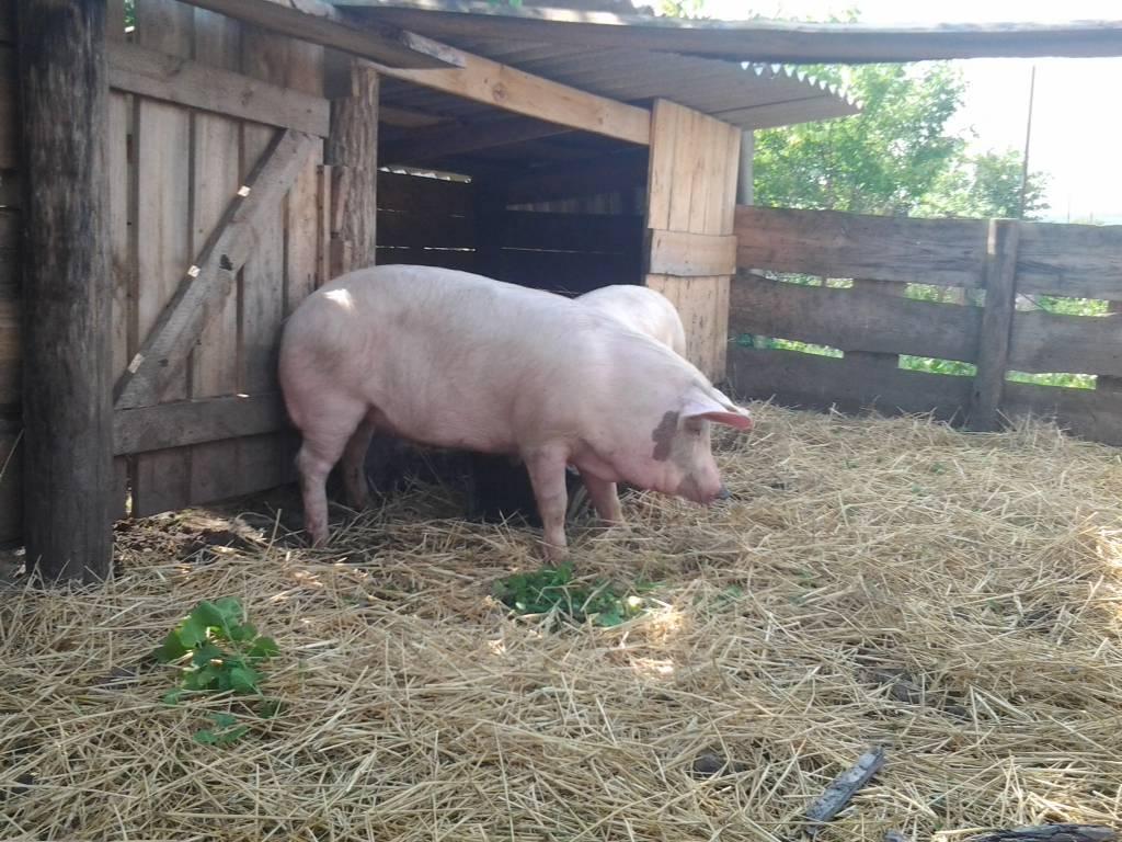 Симптомы и лечение инфекционного зaболевания свиней – пастереллеза