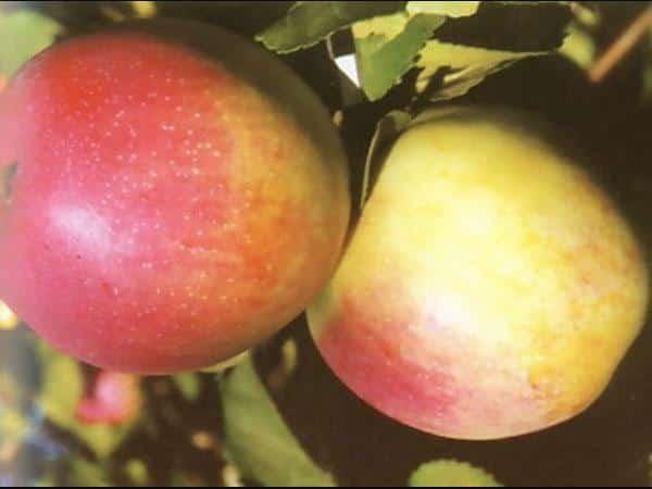 Неприхотливая яблоня строевское: описание, фото, отзывы