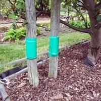 Клеевые ловчие пояса – механическая защита сада от вредителей