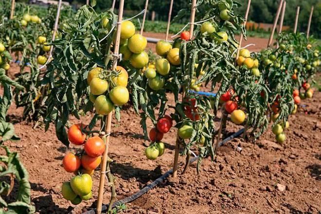 Томат ляна — описание сорта, характеристики и особенности выращивания в парниках и открытом грунте (110 фото)