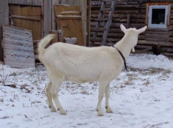 Как определить беременность козы?