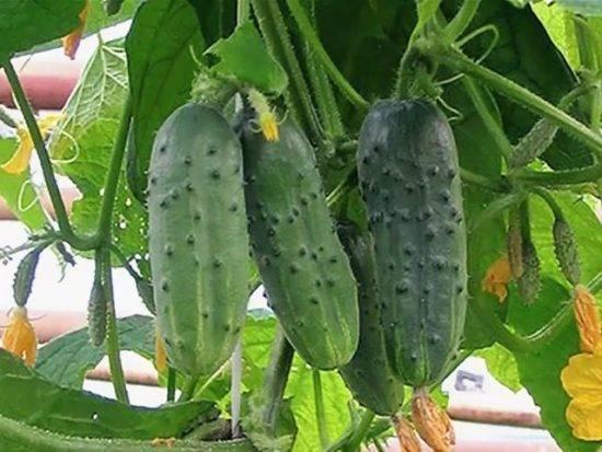 Огурцы таганай – сорт-спринтер для выращивания в южных и северных регионах