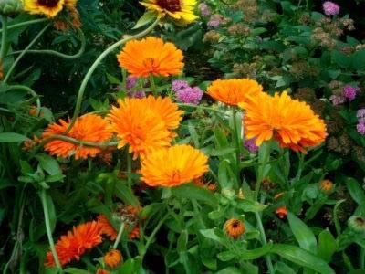 Календула: когда сажать, выращивание и уход в открытом грунте