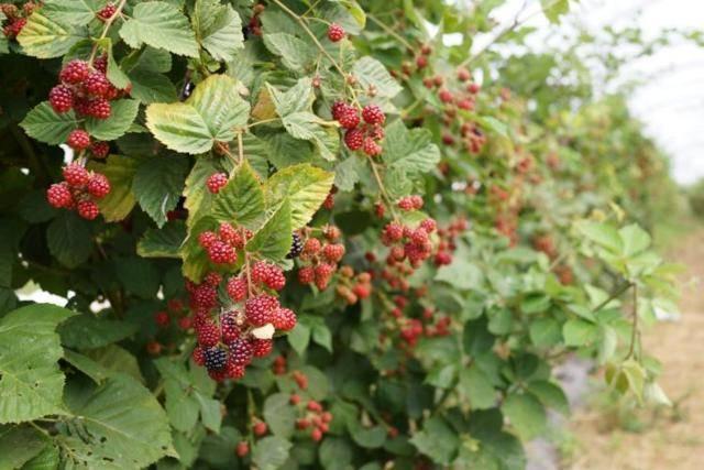 Способы обрезки малины: осенняя, весенняя, летняя и двойная