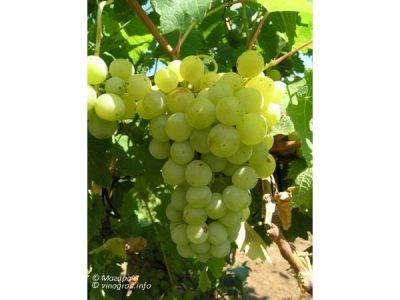 «маникюр фингер» — редкий и дорогой сорт винограда