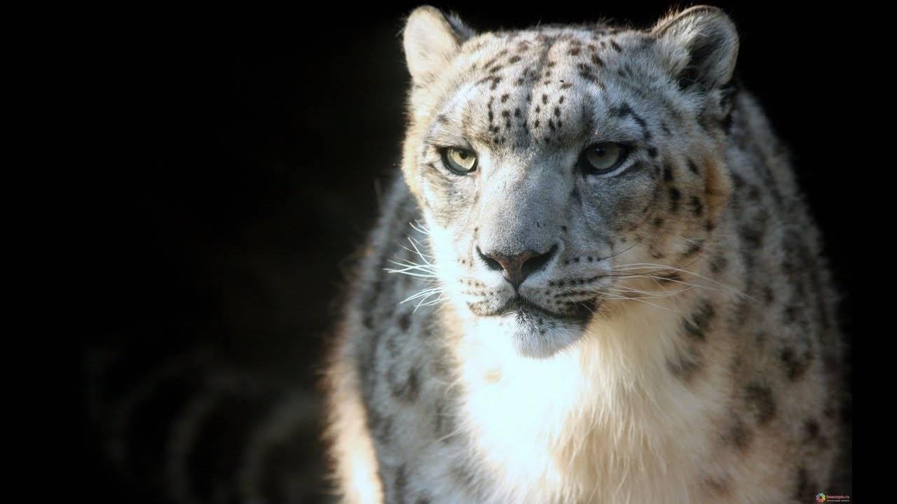 Снежный баран приспособленность к среде обитания