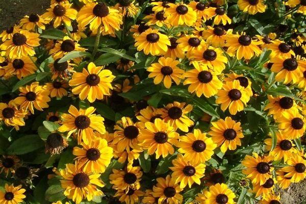 Рудбекия многолетняя — солнышко в вашем саду