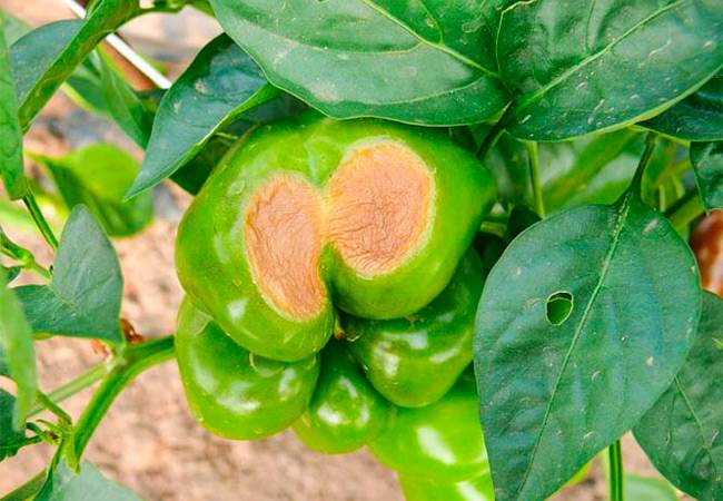 Болезни и вредители перца: борьба с ними, фото
