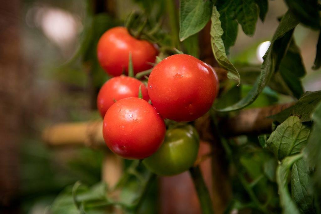 Описание сорта томата северянин и его характеристики