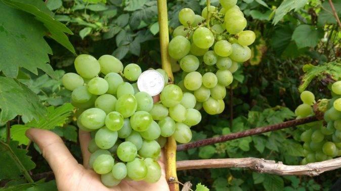 Виноград: краткий обзор лучших сортов для разных регионов