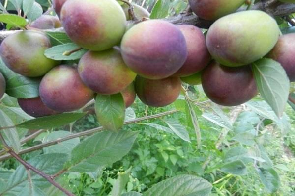 Гибриды вишни и сливы
